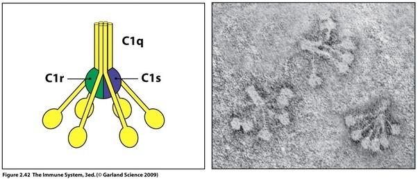 C1 Protein Complex